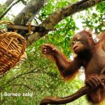 Į pasimatymą su orangutangais Borneo saloje – pigūs bilietai iš Kopenhagos vos už 352 EUR!