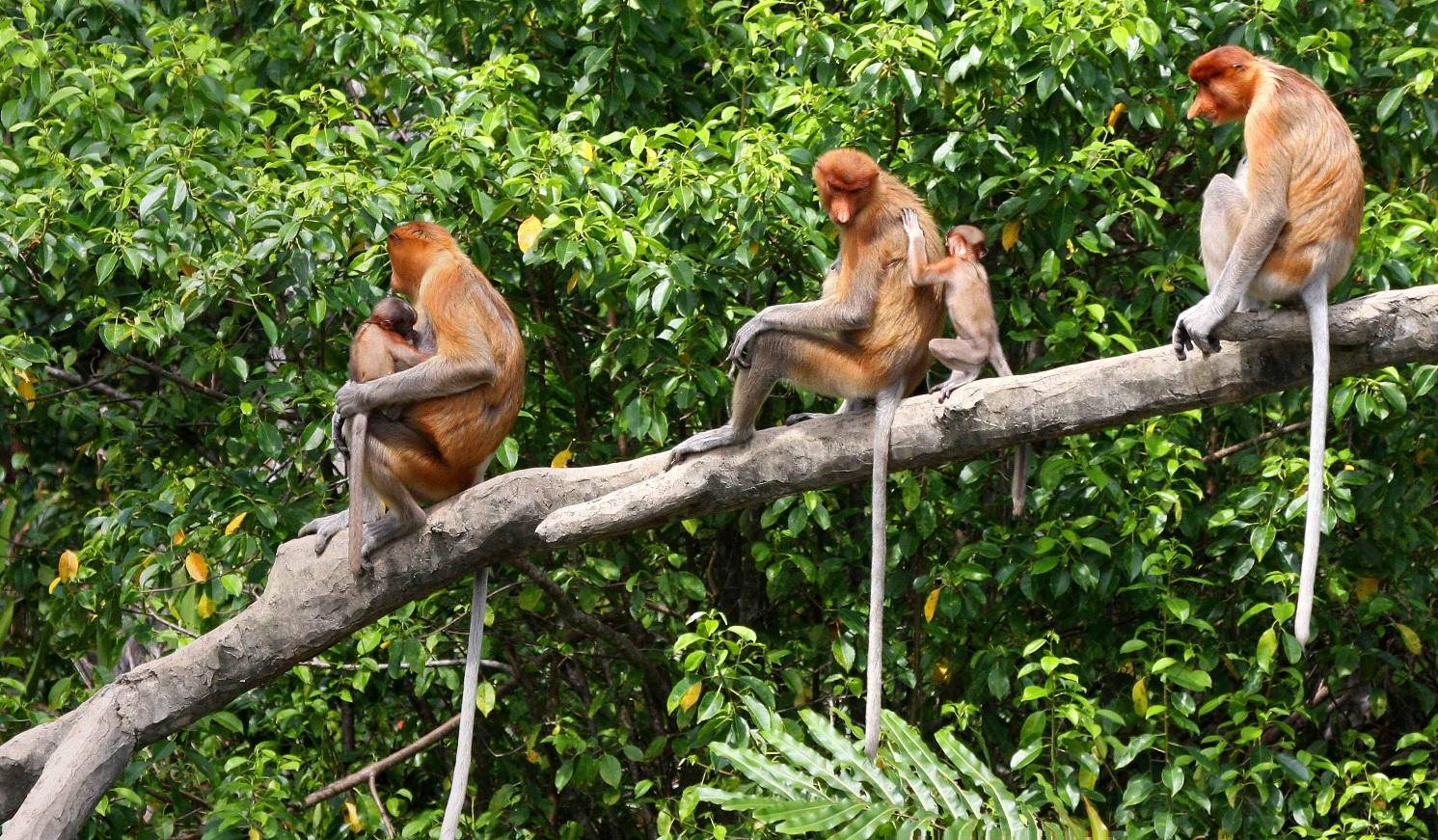 Didnosės beždžionės Borneo saloje